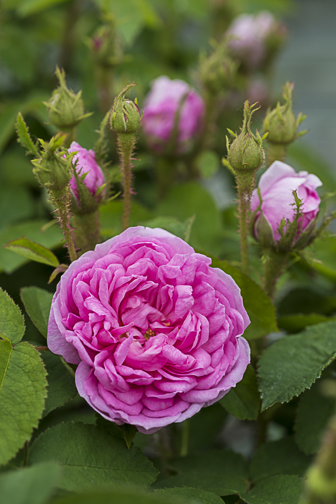 Salet rosier ancien
