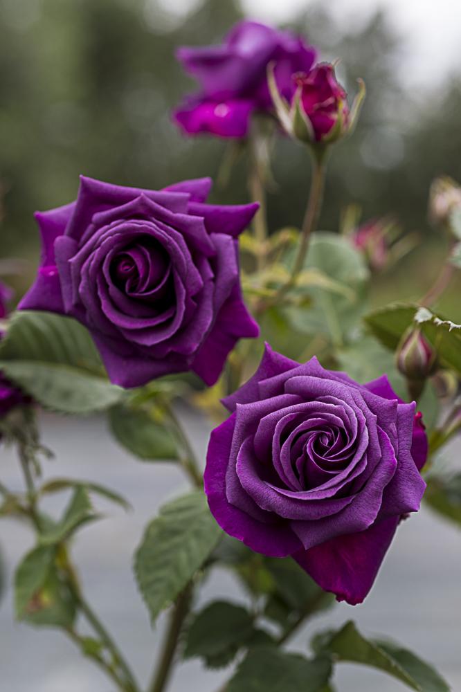 Purple eden