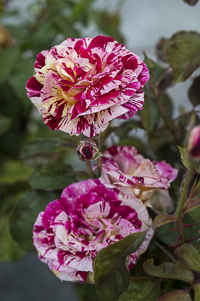 Rosa paparazzi