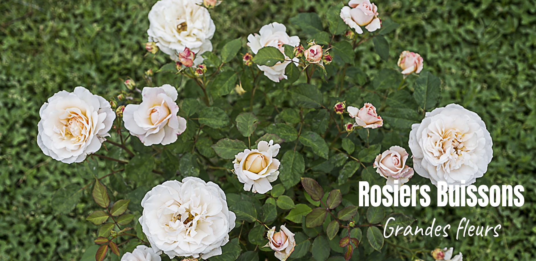 Rosiers grandes fleurs
